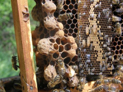 Amorces de cellules royales et cellules royales complètes  Exemple de l'une des 14  photographies montées sur le cadre amovible de la ruche pédagogique.