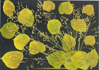 248. TILLEUL DORE (tilleul et graminées) Je réalise des sets de table avec des fleurs naturelles sélectionnées par mes soins, selon les saisons dans mon jardin & différents végétaux.  Ces reproductions se présentent sous un format cartonné de 40/60 cm plastifié.(peuvent être également encadrés ou tirées sur toile)  Duo expédié à partir de 30 Euros. Pour 4 achetés le 5°Gratuit  Tous les détails sur le site internet