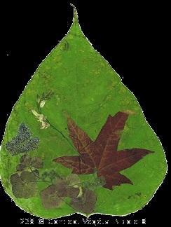 238. CAYALPA FLEURI      (feuille de catalpa- �rable - hortensia-)  Reproduit sur support plastifi� 175�  Dimensions 30x42cm  LE DUO exp�di� en COLISSIMO dans les 5 jours qui suivent la r�ception du r�glement.  Pour 4 achet�s le 5�Gratuit