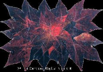 241. VIGNE VIERGE ROUGE  Reproduit sur support plastifi� 175�  Dimensions 30x42cm  LE DUO exp�di� en COLISSIMO dans les 5 jours qui suivent la r�ception du r�glement.  Pour 4 achet�s le 5�Gratuit