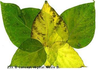 239.PAPILLON CATALPA     R�alis� avec des feuilles de catalpa.  Reproduit sur support plastifi� 175�  Dimensions 30x42cm  LE DUO exp�di� en COLISSIMO dans les 5 jours qui suivent la r�ception du r�glement.  Pour 4 achet�s le 5�Gratuit