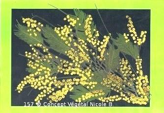 Mod�le.157  BRANCHE DE MIMOSA   Mimosa : Sensibilit�, l�g�ret�.   R�alis� avec des fleurs et diff�rents v�g�taux.   Reproduit sur support plastifi� 160 microns. Dimensions30x42cm   LE DUO exp�di� en COLISSIMO dans les 5 jours qui suivent la r�ception du r�glement  Pour 4 achet�s le 5�Gratuit
